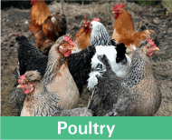 Button image linking to Poultry Products showing a some hens